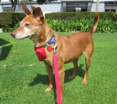 Dance the night away with handsome Foxtrot, a 15 lb rat terrier mix with soulful brown eyes and the charm to match.