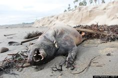 Another Montauk Monster? Creature washes ashore after Santa Barbara storm.