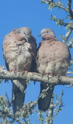 Dove Love, Auckland, NZ