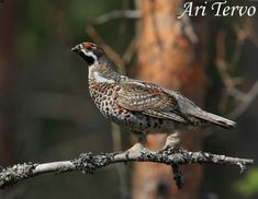 Grouse, Bird, Photography, Animals, Photograph, Animales, Animaux, Birds, Fotografie