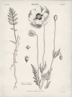 1882 Botany Common Red Poppy Drawing : Pictorial Gems!
