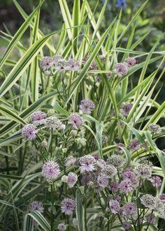 Istuta isotähtiputkea koristeruohojen joukkoon. Rantaruoho tekee isotähtiputkelle oikeutta. Plants, Plant Combinations, Garden