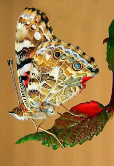 Beauty butterfly.