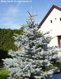 Picea pungens, Blue Diamond
