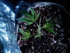 how to grow marijuana seeds  http://www.growingmarijuanaebook.com