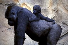 A Western Lowland Gorilla baby named Mjukuu rides on the back of her mother Mbeli, in their enclosure at Taronga Zoo, in Sydney, Australia. | (REUTERS/David Gray)
