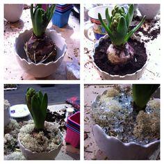 Svibel plantet i potte. Da det meste av jorden vekk fra løken, legg svibelen i potta og legg gjord rund, så legger du kvitmose over for å skjule jorden, så dekorerer jeg den med småstein Plants, Plant, Planets