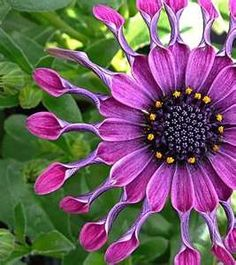 African Daisy  OMG I want these in my garden, they are spectacular, just incredible and are my favorite color :o)