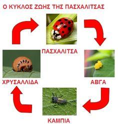 ...Το Νηπιαγωγείο μ' αρέσει πιο πολύ.: Πέτα ... πέτα Μαρουδίτσα!!!! Η πασχαλίτσα: Το έντομο του Πάσχα.