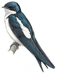 Pied-winged Swallow (Hirundo leucosoma)
