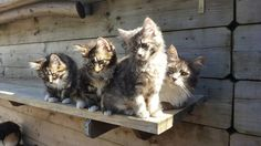 Zonnige Zondag Cattery Maine Coon