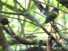 The spatuletail hummingbird in Peru is simply amazing.