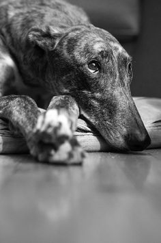 greyhound look
