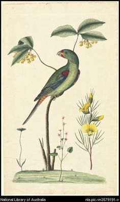 Swift parrot (Lathamus discolor) as drawn by George Raper circa 1788