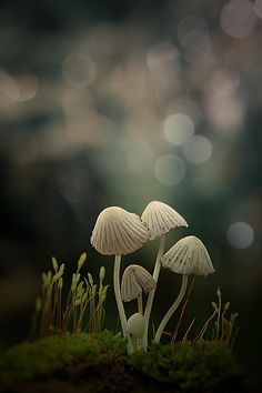 little family by budi 'ccline' - Photo 99617667 / Mushroom Art, Mushroom Fungi, Wild Mushrooms, Stuffed Mushrooms, Mushroom Pictures, Slime Mould, Patterns In Nature, Pictures To Paint, Science And Nature