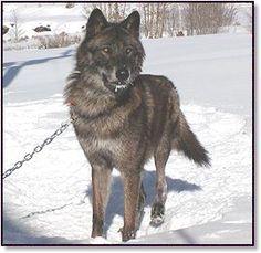 Wolf dog hybrid puppy | My First Love: ANIMALS