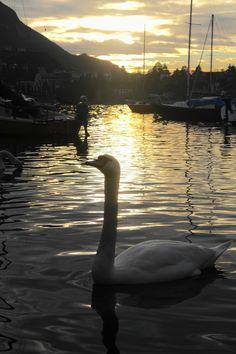 Swan of muy dreams