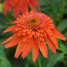 Echinacea Double Scoop 'Mandarin' (awesome color)
