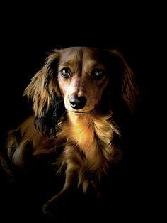 Longhaired Dachshund - Cute Dog by Treke on deviantART