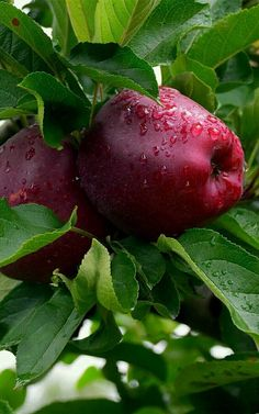 49 Fruit to Bumper Harvest in Autumn for Thanksgiving Fruit Plants, Fruit Garden, Fruit Trees, Red Fruit, Fruit And Veg, Fruits And Vegetables, Fruit Photography, Beautiful Fruits, Tropical Fruits
