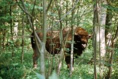 European bison can be seen in Białowieża National Park
