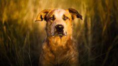 Прекратить нянчиться вашей собаки-он 99,9% волк - Кварц - Карман