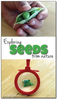 Four fun activities for exploring seeds with preschoolers. Great ideas for taking advantage of seeds all around us for learning! || Gift of Curiosity