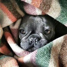 Snuggly French Bulldog.