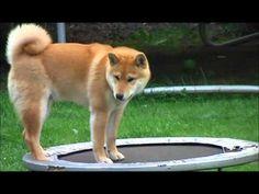 トランポリンに挑戦する柴犬。その動きと困惑顔が可愛すぎる | 犬ジャーナル