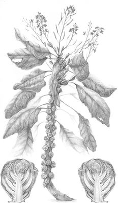 Brussel Sprout Plant, Graphite, Sprouts, Monochrome, Sketches, Traditional, Abstract, Drawings, Artwork