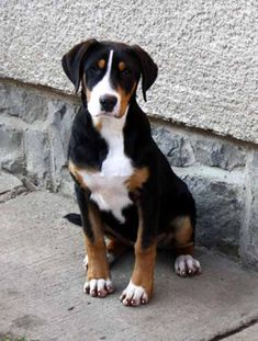 Greater Swiss Mountain Dog - AKA the Dog I'm getting the minute I have a place with a big yard...