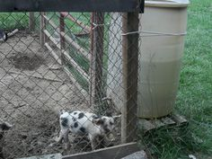 If you've ever had pigs, you know how hard it can be to keep their water trough clean. Heck, even if you've never had pigs I'm sure you kno...