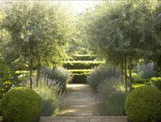 Olive trees underplanted with lavender (by Sydney, AU designer Peter Fudge via Gardenista)