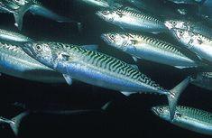 Uskumru balığı, besin değeri, yaşamı, ülkemizdeki durumu, pişirme yöntemleri ile ilgili açıklayıcı bir yazı