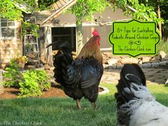 15  Tips to Control Rodents Around Chicken Coops