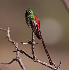 Red-tailed Comet - Sappho sparganura