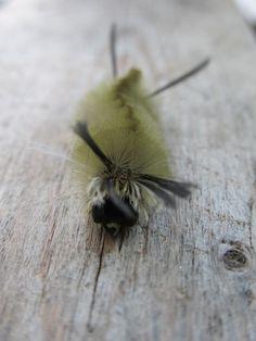 Hairy Caterpillar                                               #photographytalk #macrophotography