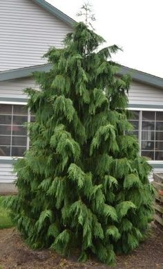 Backyard Weeping Nootka Cypress, Chamaecyparis nootkatensis 'Pendula' I am undecided I can clarify w Landscaping Trees, Privacy Landscaping, Front Yard Landscaping, Arborvitae Landscaping, Modern Landscaping, Backyard Patio, Garden Shrubs, Garden Trees, Trees To Plant