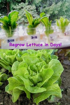 Best vegetables & herbs to regrow from kitchen scraps in water or soil. Start a windowsill garden indoors, or grow foods using grocery lettuce, beets, etc! Herb Garden In Kitchen, Vegetable Garden Design, Regrow Vegetables, Growing Vegetables, Container Gardening, Gardening Tips, Regrow Lettuce, Pot Jardin, Herbs Indoors