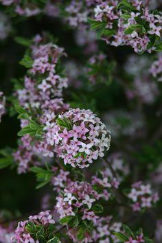 Carol Mackie daphne, Daphne x burkwoodii, One of the best smelling flowers.