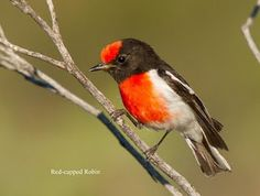 The Red-capped Robin (Petroica goodenovii) is a small passerine bird native to Australia.