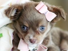 Carol the Chihuahua Puppy For Sale #chihuahua #dog #puppy #teacup #cute #dog #puppy