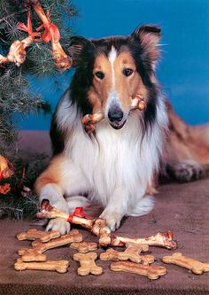 Lassie by Vintage-Stars, via Flickr   Christmas 1945  Lassie doesn't care that Timmy is down a well, has treats to eat! kn