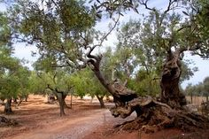 Olive Tree Grove at Mallorca Island Spain (some are over 1,000 years old)