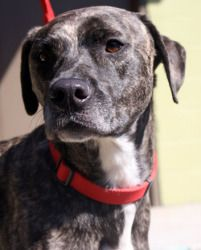 Didi is an adoptable Pit Bull Terrier Dog in Atlanta, GA. Hi! I'm Didi, a 4 year old brindle pit mix. I'm not the luckiest girl. I guess you could say that I'm 0 for 2. What that means is that I've ...