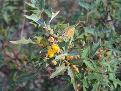 2016 - Agarita's fragrant yellow flowers will soon turn into edible red berries. Pedernales Falls State Park, 30 miles west of Austin