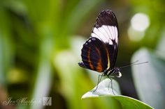 Jen Maihack Photography · Butterfly Rainforest Part 1 Tampa Bay, Butterfly, Awesome, Photography, Animals, Photograph, Animales, Animaux, Fotografie