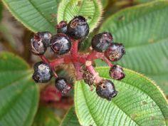 Blattaderung und fast schwarze Beeren von Tococa guianensis.  João Medeiros - Tococa guianensis  fruits of Tococa guianensis - MELASTOMATACEAE APA do Rio Descoberto - Chapada Imperial - Distrito Federal - Brasil.