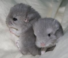 15 Images Of Baby Chinchillas That Will Melt Your Heart - World's largest collection of cat memes and other animals Hamsters, Chinchillas, Rodents, Cute Baby Animals, Animals And Pets, Funny Animals, Funny Cats, Hamster Pics, Chinchilla Cute