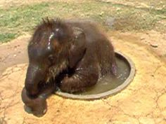 Baby Elephant Taking a Bath. So cute but think he needs a bigger bathing hole. awww